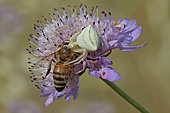Crab Spider with its prey: Wild bee on Scabieusa flower, Grassland Massif des Maures, Var, France