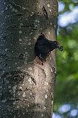 Pic noir (Dryocopus martius), Mâle ressortant de la loge en évacuant les fientes des jeunes pour maintenir la propreté de son logis. Dans un Hêtre en forêt de feuillus au printemps, Lorraine, France