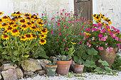 Rudbéckie hérissée (Rudbeckia hirta), Sauge rouge écarlate (Salvia coccinea), Géranium lierre (Pelargonium peltatum), Agaves (Agave sp) en pot dans un jardin