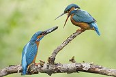 Common Kingfisher (Alcedo atthis) Nuptial gift, Alsace, France