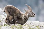 Alpine Ibex (Capra ibex) female and young cuddling, Creux du Van, Switzerland