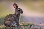 European rabbit (Oryctolagus cuniculus) by the roadside, Alsace, France
