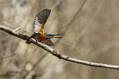 Common Kingfisher (Alcedo atthis) defending its territory, Alsace, France