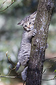 Young Wild Cat (Felis sylvestris) playing on a tree, Bavaria, Germnay