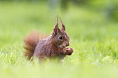 Red Squirrel (Sciurus vulgaris) with a nut in the paw, Alsace, France