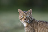 Wild cat (Felis silvestris) hunting, Alsace, France