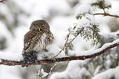 Pygmy Owl (Glaucidium passerinum), female with prey on a snowy branch, Alps, France