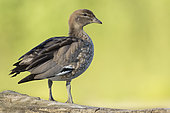 Australian Wood Duck (Chenonetta jubata) on ground, France