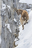 Alpine Ibex (Capra ibex) on snowy cliff, France