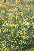 Sweet fennel (Foeniculum vulgare) 'Purpureum'