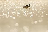 Pair of Tufted Duck (Aythya fuligula) at dawn with flare, Ile du Rhin, Alsace, France