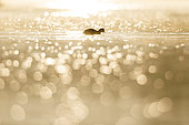 Silhouette of a coot (Fulica atra) swimming with flare at sunrise ,Ile du Rhin, Alsace, France