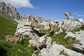 Ibex (Capra ibex) females and youngs on rocks, Grand Bornand, Haute-Savoie, France