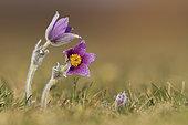 Pasque flower (Pulsatila vulgaris) flowers, France