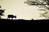 Ibex (Capra ibex) female walking at dusk, France