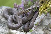 Smooth Snake (Coronella austriaca austriaca), Alps, Italy