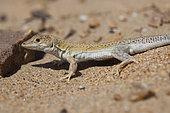 Golden Fringe-fingered Lizard (Acanthodactylus aureus), Morocco