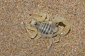 Scorpion (Buthus bonito), South West Morocco