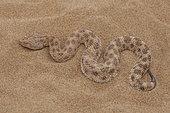 Vipère de l'Erg, Sand Viper (Cerastes vipera) on sand, North West Morocco