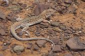 Leopard Fringe-Fingered lizard (Acanthodactylus pardalis), South West Morocco