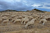 Coming back from the summer pastures (from the Roncal Valley in the Pyrenees) by crossing Bardenas-Reales desert, Navarre, Basque country, Spain