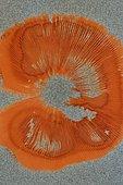 Mushroom's sporeprint. Field mushroom (Agaricus campestris), France