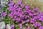European Alpine primrose (Primula viscosa). Habitat: siliceous rocks. Subalpine and mountain zone. Pyrenees, Aragon, Spain