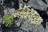 Pyrenean Saxifrage (Saxifraga longifolia). Endemic to the Pyrenees. Aragon, Espagne