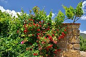 Vine and rose tree tied to a wall of a sheepfold, Aragon, Spain