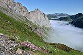 Mer de nuages : au premier plan on découvre l'Armérie des Alpes (Armeria alpina) et les Rhododendrons en fleurs, Vallée d'Ossau, Pyrenees, France