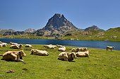 Herd of Blondes des Pyrenees cows, at the mountain pasture. Lake Bersau and Pic du Midi d'Ossau. Pyrenees National Park