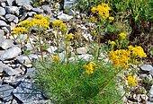 Groundsel (Senecio adonidifolius). Habitat: rocks on siliceous soils, heath. Mountain zone. Pyrenees, France