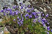 Giant bellflower: Campanula latifolia. Habitat: grasslands, rocky grounds. Subalpine zone. Pyrenees, France