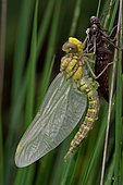 Yellow-legged clubtail (Gomphus pulchellus) emerging from its exuviae. Ossau valley, Pyrenees, France
