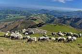 Ewe flock at the mountain pasture, Basque Country, Navarre, Pyrenees, France