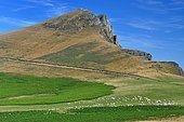 Ewe flock at Errozate pass, Basque Country, Pyrenees, France