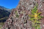 Carline artichaut (Carlina acanthifolia) sur grès rouge du Permo-Trias. Habitat: rocailles, pelouses sèches. Propriétés: Réceptacle comestible comme l'artichaut, Etage montagnard, Vallée d'Aspe, Pyrénées, France
