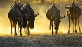 Petit troupeau de Gnous à queue noire (Connochaetes taurinus) en fin de journée dans le désert du Kalahari, Kgalagadi, Afrique du Sud