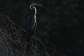 Darter (Anhinga melanogaster) on a branch, Keoladeo, Inde