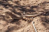 Bosc's fringe-toed lizard (Acanthodactylus boskianus), Morocco