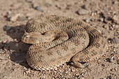 Desert Horned Viper (Cerastes cerastes), Ouarzazate, Morocco