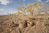 Desert Horned Viper (Cerastes cerastes) in its environment, Ouarzazate, Morocco