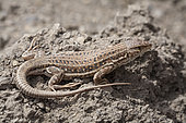 Spiny-Footed Lizard (Acanthodactylus erythrurus belli), Atlas, Morocco