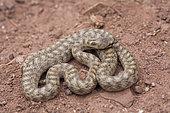 Southern Smooth Snake (Coronella girondica), High Atlas, Morocco