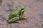 Stripeless Tree Frog (Hyla meridionalis), Punctuated form of the High Atlas, Morocco