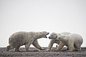 Polar bear (Ursus maritimus) female and youngs on the shore, Barter Island, Northern Arctic Circle, Alaska.