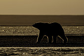 Polar bear (Ursus maritimus) walking on shore against the light, Barter Island, North of the Arctic Circle, Alaska.