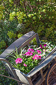 Pelargonium plants (Pelargonium grandiflorum) in a cart, Vegetable garden, Provence, France