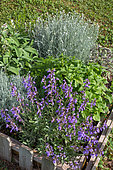 Aromatic Planting: Sage, Mint, Curry plant in a Bartholomew Square, Vegetable Garden, Provence, France
