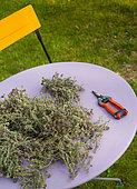 Thym cueilli posé sur une table parme avec un sécateur rouge, Jardin potager, Provence, France